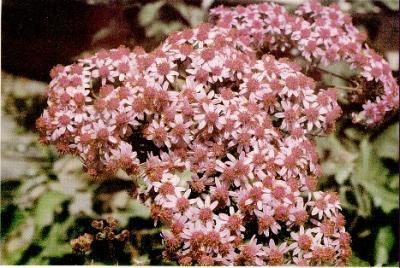 Vecinos de Camaretas lanzan una campaña para recuperar un endemismo grancanario, la flor de mayo leñosa, en peligro de extinción