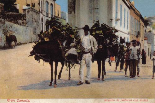 Tal como éramos : acarreo de plátanos con mulas a través de Vegueta