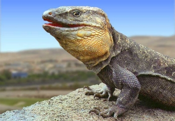 """El lagarto de Gran Canaria reclama su condición de """"gigante"""" del Archipiélago"""