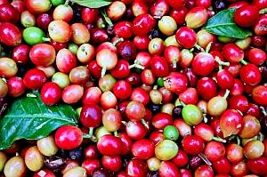 El cultivo del café de Gran Canaria ya se extiende a Guía
