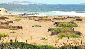 El Cabildo planta 1.500 semillas de un endemismo único en la costa de Jinámar
