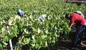 San Bartolomé de Tirajana ya es el mayor productor de uva de Gran Canaria