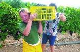 Agüimes se convierte en tierra de vendimiadores y buen vino